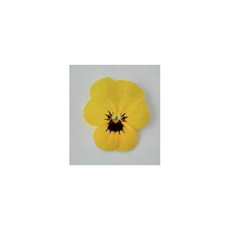 Pianta di Viola a fiore piccolo Admire Yellow blotch