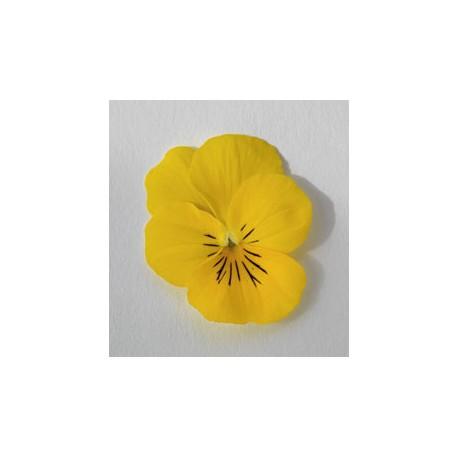 Pianta di Viola a fiore piccolo Admire Yellow