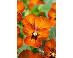 Pianta di Viola a fiore piccolo Corina Terracotta