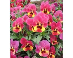 Pianta di Viola a fiore piccolo Millionflora Ruby