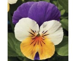 Pianta di Viola a fiore piccolo Penny Peach jump up