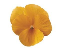 Pianta di Viola a fiore piccolo Penny Tangerine