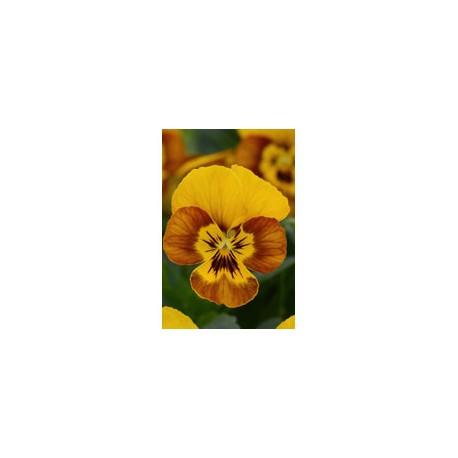 Pianta di Viola a fiore piccolo Sorbet Honeybee