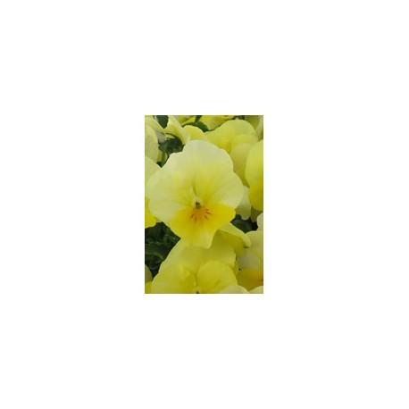 Pianta di Viola a fiore piccolo Sorbet Lemon chiffon
