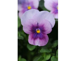 Pianta di Viola a fiore piccolo Sorbet Orchid rose beacon