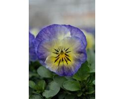 Pianta di Viola a fiore piccolo Sorbet XP Neptune