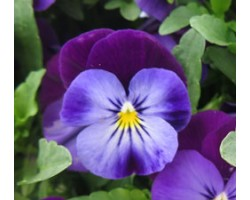 Pianta di Viola a fiore piccolo Quicktime Blue purple jump up