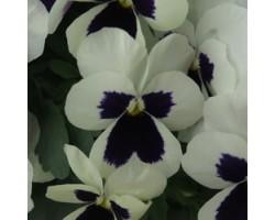 Pianta di Viola a fiore piccolo Quicktime White blotch