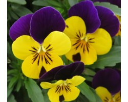 Pianta di Viola a fiore piccolo Quicktime Yellow violet jump up