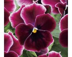 Pianta di Viola a fiore piccolo Waraku Rose Eclipse