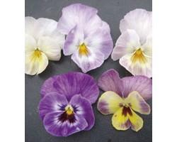 Pianta di Viola a fiore piccolo Waraku Flavor tea