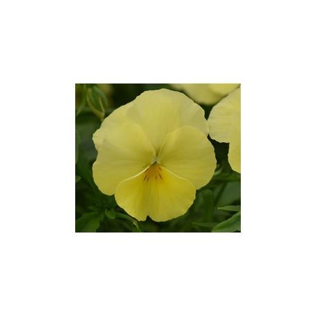Pianta di Viola ricadente Cool Wave Lemon