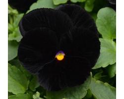 Pianta di Viola a fiore grande Matrix Halloween
