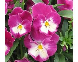Pianta di Viola a fiore medio Ultima Radiance Pink