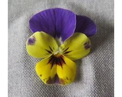 Pianta di Viola a fiore piccolo Ai Citrine
