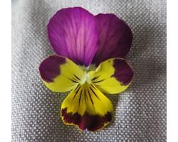 Pianta di Viola a fiore piccolo Ai Coral