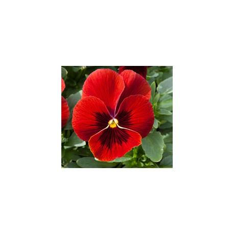Pianta di Viola ricadente Freefall XL Scarlet blotch