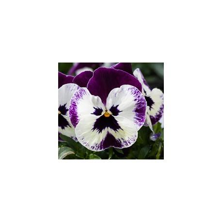 Pianta di Viola ricadente Freefall XL Victoriana
