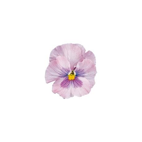 Pianta di Viola a fiore grande Delta Pink shades