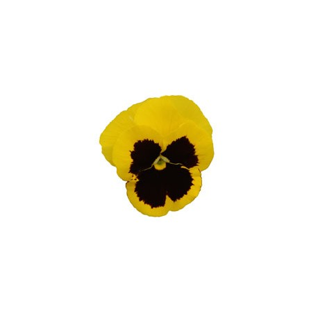 Pianta di Viola a fiore grande Promise Yellow blotch