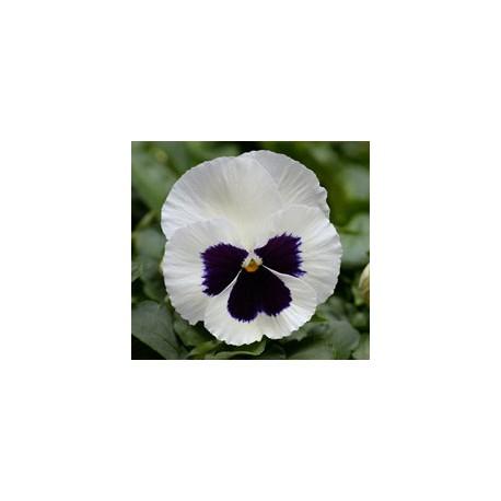 Pianta di Viola a fiore grande Promise White blotch