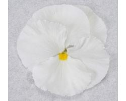 Pianta di Viola a fiore grande Promise White pure