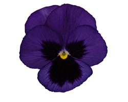 Pianta di Viola a fiore grande Promise Blue blotch