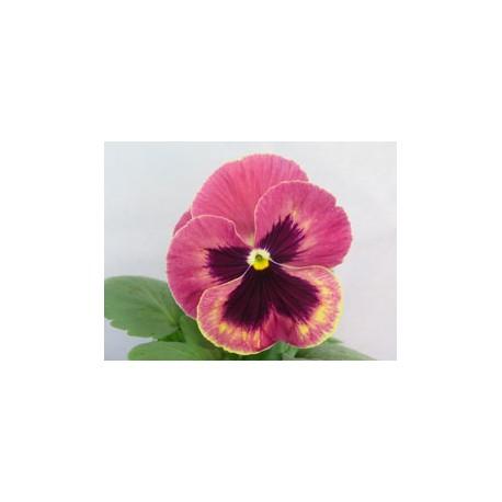 Pianta di Viola a fiore grande Promise Antique shades