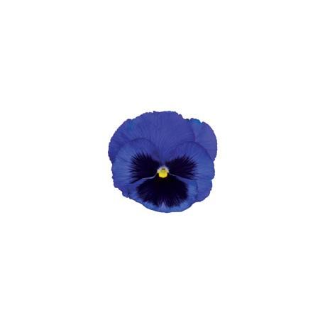 Pianta di Viola a fiore grande Inspire Plus Blue blotch
