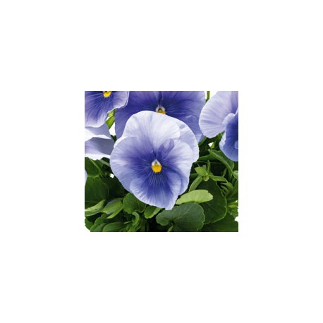 Pianta di Viola a fiore grande Inspire Plus Light blue