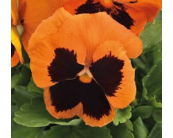 Pianta di Viola a fiore grande Inspire Plus Orange blotch