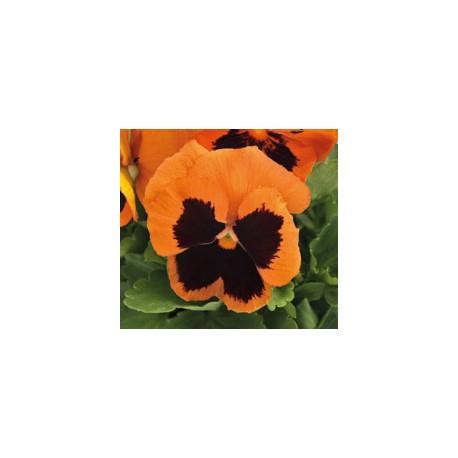 Pianta di Viola a fiore grande Inspire Plus Orange blotch