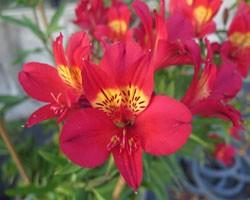 Pianta di Alstroemeria Summer Red (Vaso 18 cm)