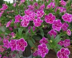 Pianta di Calibrachoa Superbells Sweet Love (Vaso 14 cm)