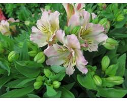 Pianta di Alstroemeria (Giglio del Perù) Time Spring Valley (Vaso 18 cm)