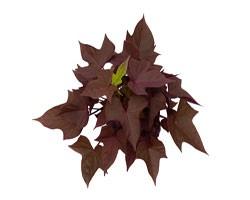 Pianta di Ipomoea Sweet Caroline Copper (vaso 14 cm)