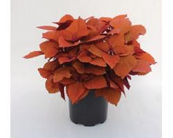 Pianta di Coleus Campfire (vaso 14 cm)