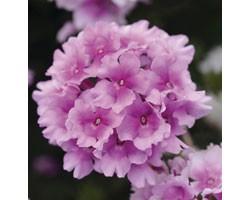 Pianta di Verbena Endurascape Pink Bicolor (Vaso14)