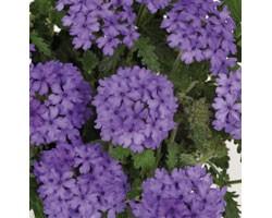 Pianta di Verbena Endurascape Blue (Vaso14)