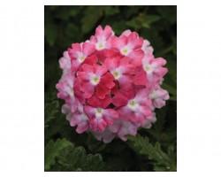 Pianta di Verbena Endurascape Pink Fizz (Vaso14)