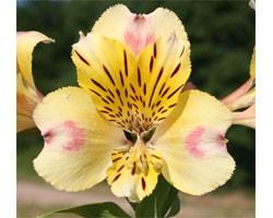 Alstroemeria (Giglio del Perù) Majestic Briancon (Vaso 18 cm)