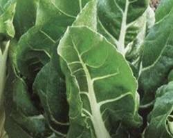 Pianta di Bieta da Coste Lusiana (Vaschetta da 6 piante)