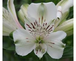 Alstroemeria (Giglio del Perù) Majestic Maze (Vaso 18 cm)
