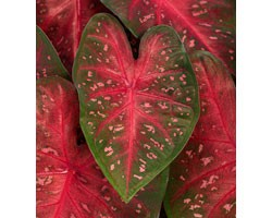 Caladium Fancy Leaf Fast Flash (vaso 12 cm)