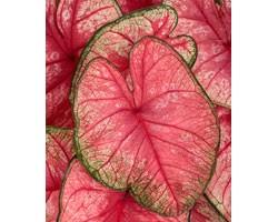Caladium Fancy Leaf PW Radiace (vaso 12 cm)