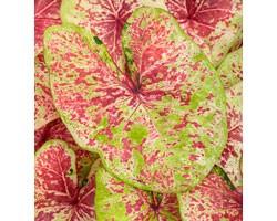 Caladium Fancy Leaf PW Raspberry Moon (vaso 12 cm)