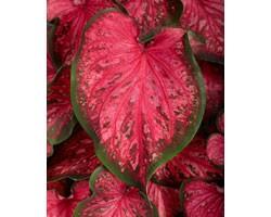 Caladium Strap Leaf PW Scarlet Flame (vaso 12 cm)