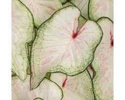 Caladium Strap Leaf PW White Wonder (vaso 12 cm)
