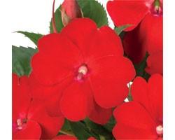 Pianta di Impatiens Sunpatiens Vigoroso Scarlet (vaso 14 cm)