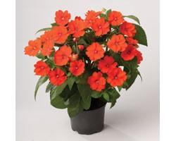 Pianta di Impatiens Sunpatiens Vigoroso Orange (vaso 14 cm)